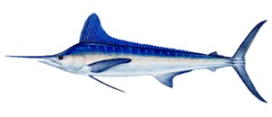 Atlantic White Marlin